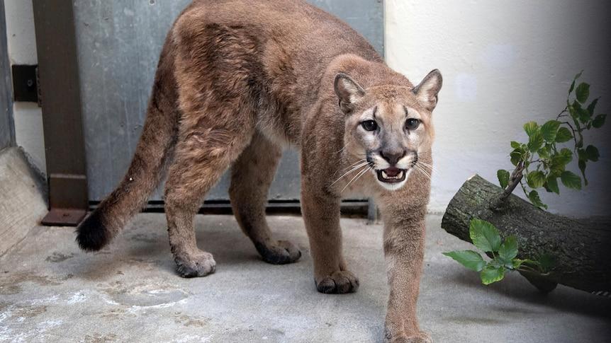 业主交出在纽约公寓非法饲养的36公斤重的宠物美洲狮