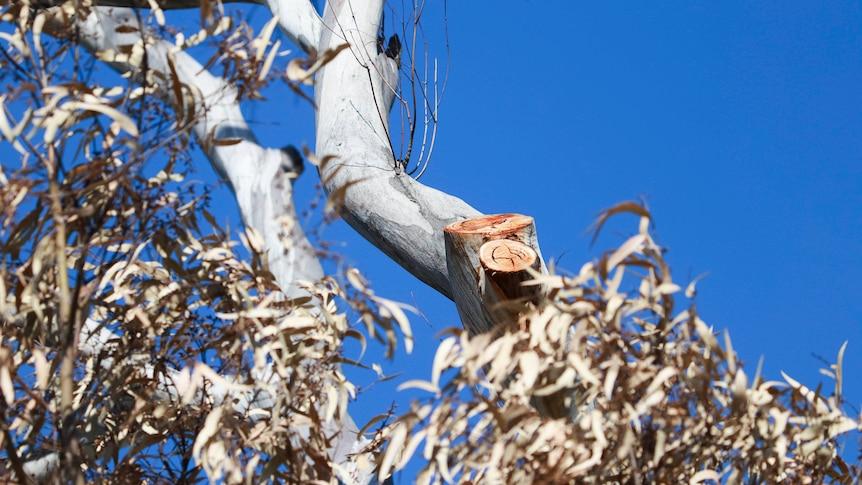 霍巴特贝勒里夫海滩一带受威胁的桉树物种被故意毒害